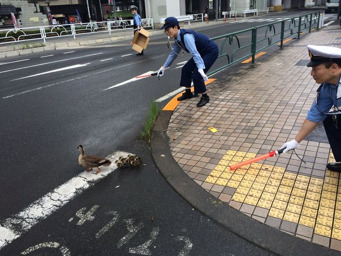 Japanese Police Officers Helping A Duck Family Cross The Road